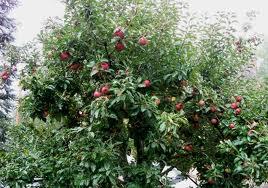 arboles frutales 1