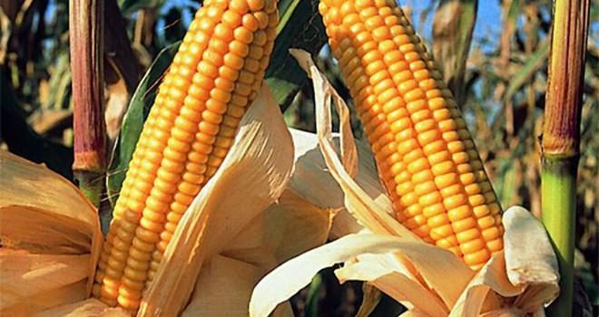 maiz-mexico-660x350