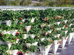 plantas frutillas